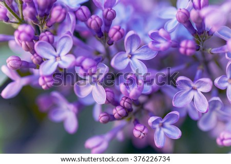 Purple Lilac spring bloom macro photography with selective focus - stock photo