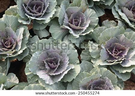 Purple Longlived Cabbag, Brassica hybrid cv. Pule - stock photo