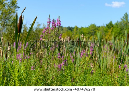 Purple Loosestrife and cattails