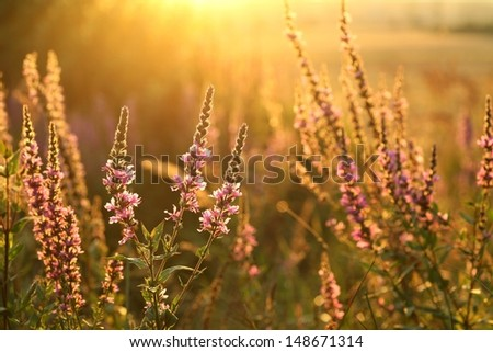 Purple loosestrife (Lythrum salicaria) in a meadow in the sunshine. - stock photo
