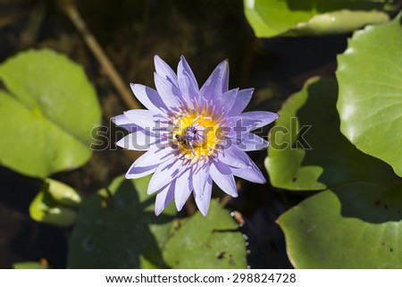Purple Lotus - stock photo