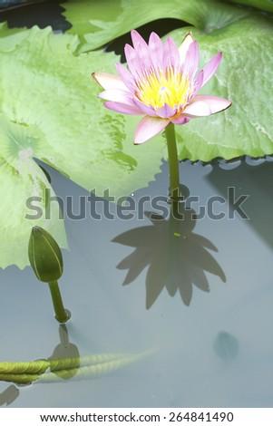 Purple lotus bloom in the water. - stock photo