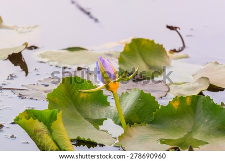 Purple Lotus blooming in the pond - stock photo