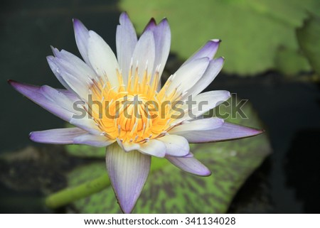 Purple lotus blooming in the pond. - stock photo
