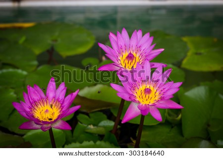 Purple lotus blossoms or water lily flowers blooming on pond - stock photo