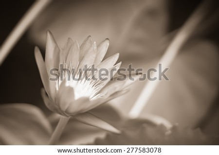 purple lotus blur background - stock photo
