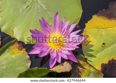 Purple Lotus. Colorful blooming purple water lily with bee is trying to keep nectar pollen from it. Lotus flower in Asia is important culture symbol. - stock photo
