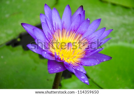 purple lotus flower - stock photo