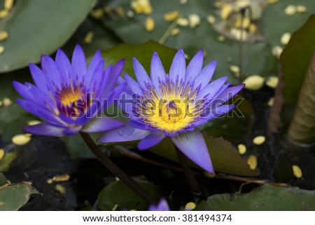 Purple Lotus flower  - stock photo