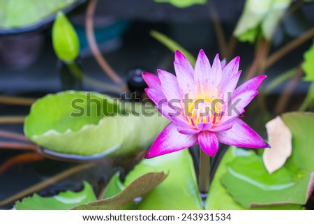 purple lotus flower blooming - stock photo