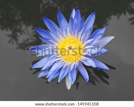 Purple lotus flower blooming on the water surface.