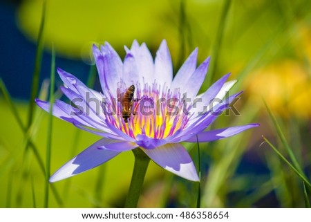 Purple lotus flower blooming with bees in the pond garden