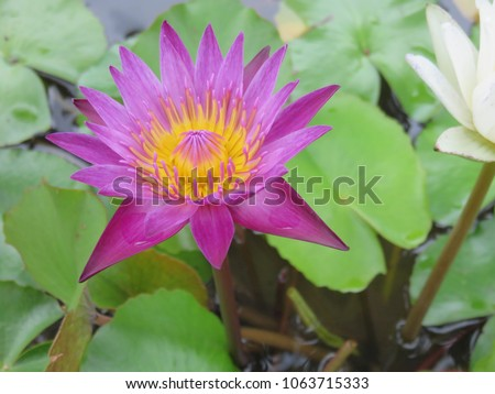 Purple lotus flower floating above muddy stock photo royalty free purple lotus flower floating above the muddy waters represent purity and beauty in the religions of mightylinksfo