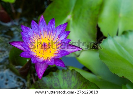 Purple lotus flower on a pond with yellow center and waterlilies around - stock photo