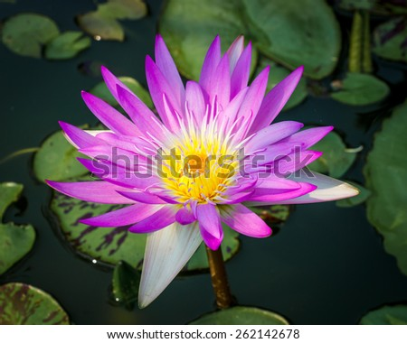 purple lotus flower on pond background photo stock - stock photo