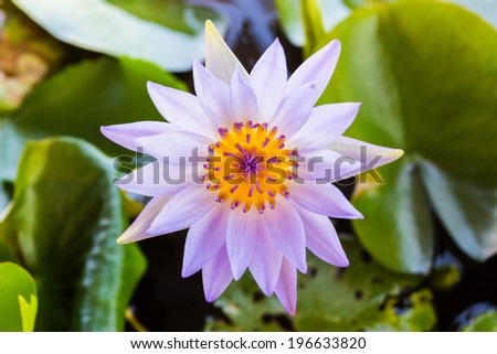 Purple lotus flower or water lily flowers blooming on pond. - stock photo
