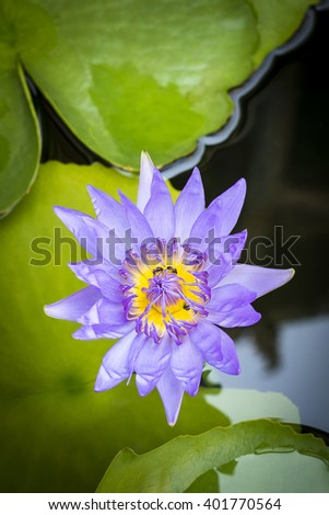 Purple lotus flower or water lily flowers blooming on pond. 