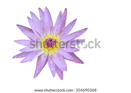 Purple Lotus flower top view has some drop water on the petal, Isolated on white background, symbol of purity and Buddhism, Scientific name is Nelumbo nucifera. - stock photo