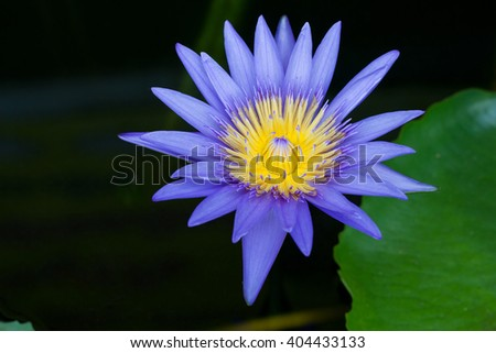purple lotus flower water lilly