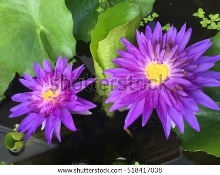Purple lotus flowers in lake