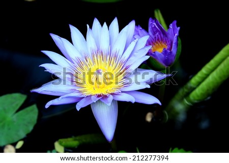 Purple lotus grows in the pond - stock photo