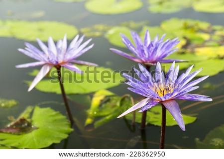 Purple Lotus in the pond - stock photo