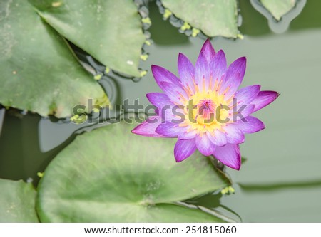purple lotus in the pond , top view - stock photo