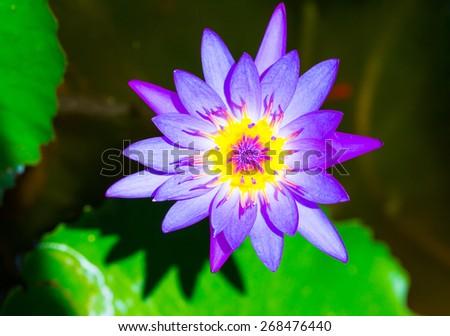 Purple lotus in the water  - stock photo