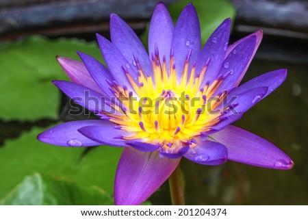 Purple lotus on a fish pond - stock photo