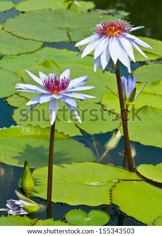 purple lotus on nature background