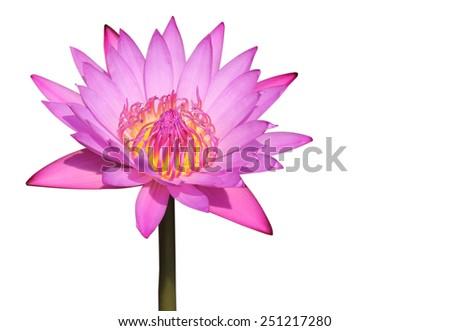 purple lotus on white background - stock photo