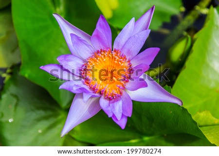 purple lotus or purple water lily in pond in the garden. - stock photo