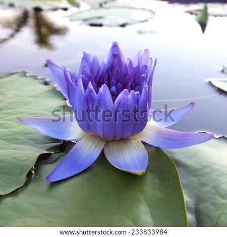 Purple lotus/Purple lotus blossoms on water - stock photo