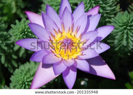 purple lotus,purple waterlily - stock photo
