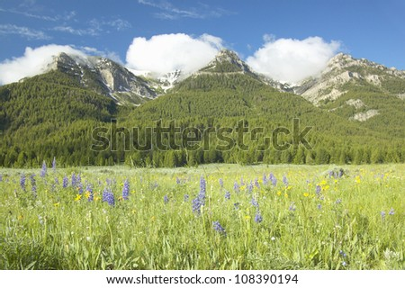 Purple lupine and mountains in Centennial Valley near Lakeview, Montana