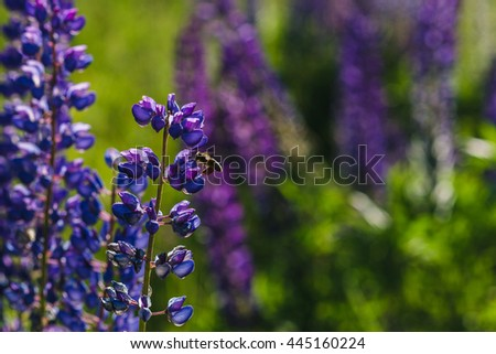 Purple lupine field close-up view. Selective focus lupine flowers image with bumblebee flying. Summer blossoming lupines with bokeh. - stock photo