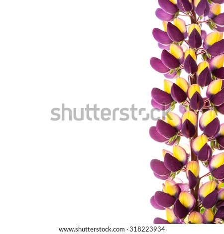 Purple lupine on white background. Space for text.