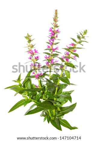 Purple lythrum plant, Lythrum salicaria or spiked loosestrife, with its spikes of purples flowers and lanceolate leaves used as a cure for diarrhoea and dysentry isolated on white - stock photo