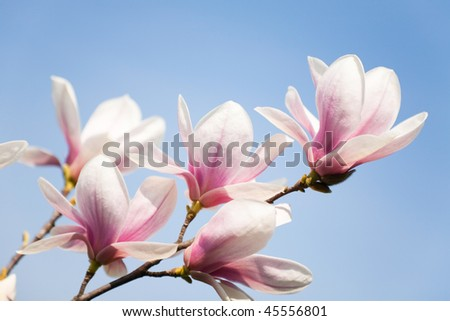 purple magnolia flowers on clear sky