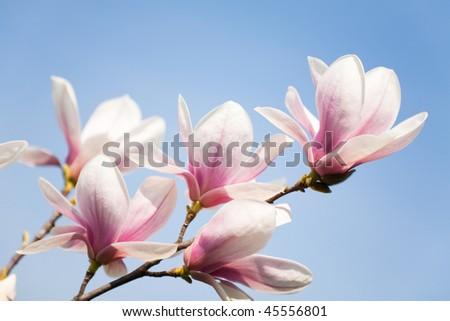 purple magnolia flowers on clear sky - stock photo