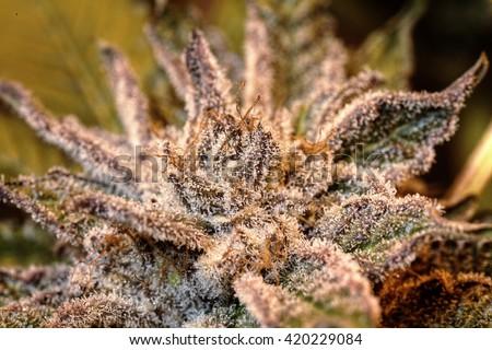 Purple marijuana bud covered in trichomes - stock photo