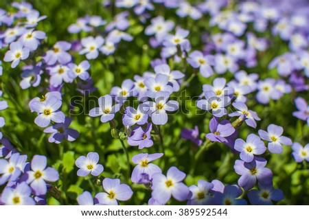 Purple moss phlox flowers and green leaves