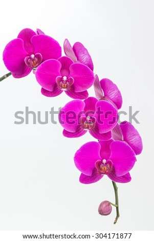 Purple Moth orchids and bud close up over white background
