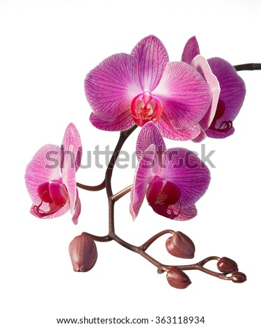 Purple orchid - detail of flowers and buds on the white backgrounds - stock photo
