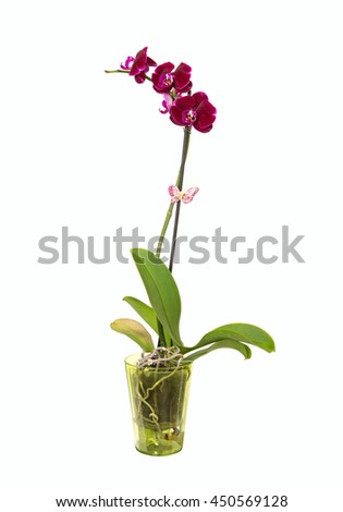 Purple orchid flower in a green pot isolated on white background  - stock photo