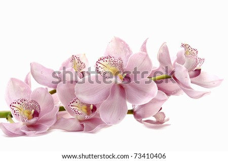 purple orchid phalaenopsis over white background