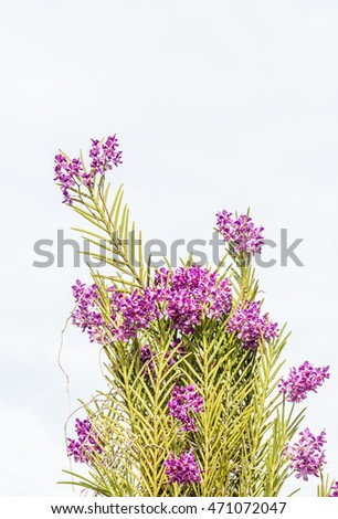 Purple orchids with green leaves on blue sky background, in Thailand. Macro.