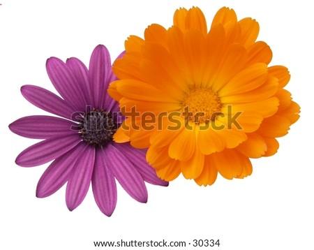 Purple Osteospermum and Orange Calendula officinalis - stock photo