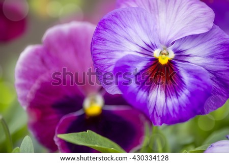Purple pansies in the garden close-up