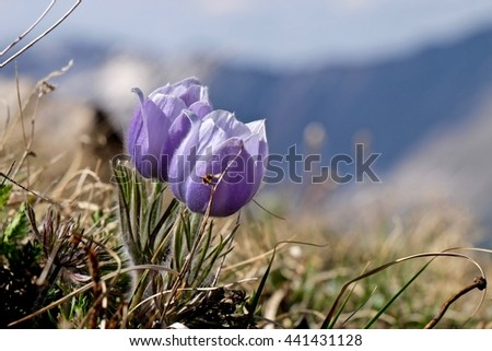 Purple pasque wild flowers in alpine meadows.  Pasque Flower or Pulsatilla found on Cottonwood Pass near Buena Vista and Denver  in Rocky Mountains, Colorado, USA.  - stock photo